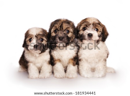 Three adorable fluffy toy puppies sitting  isolated on white - stock photo