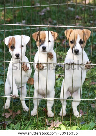 three adorable jack russell terrier puppies - stock photo