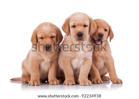 three adorable little labrador retriever puppies  sitting on white background - stock photo