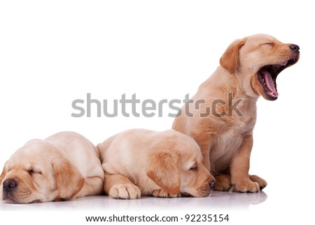 three adorable little labrador retriever puppies, two sleeping and one barking on wite background - stock photo