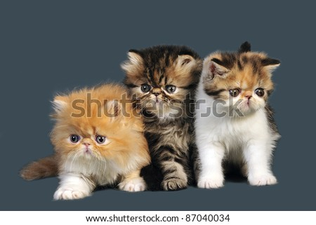 Three adorable little persian kittens on gray background. - stock photo