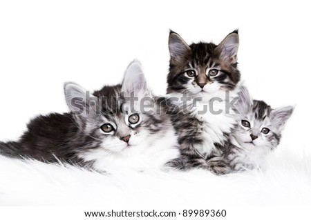 Three adorable Maine Coon kittens