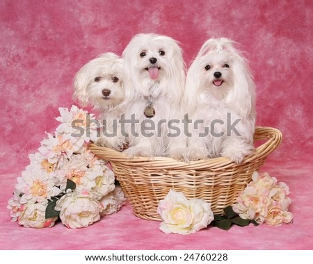 Three adorable Maltese dogs in a basket - stock photo