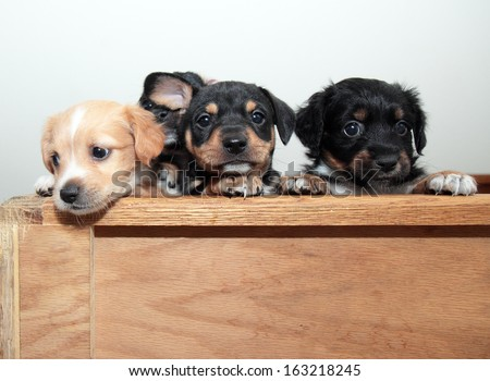 Three adorable puppies, one with ear cocked - stock photo