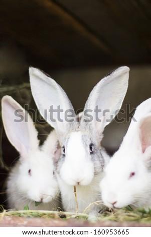 three adorable rabbits eating grass - stock photo