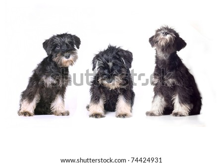 three adorable schnauzer puppies isolated on white - stock photo