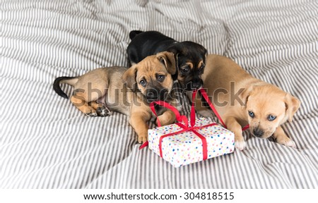 Three Adorable Terrier Mix Puppies Playing with Small Wrapped Present - stock photo