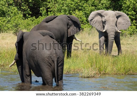Three african elephants at the water's edge in Etosha National Park in Namibia - stock photo