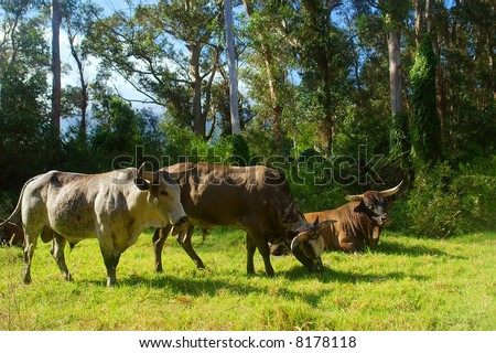 Three African Nguni bulls on pasture. Shot in Vergelegen estate area, Hottentots Holland Mountains, near Somerset West, Western Cape, South Africa. - stock photo