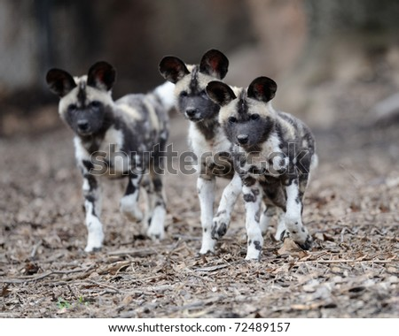 Three African painted wild dogs (Lycaon pictus) pups - stock photo