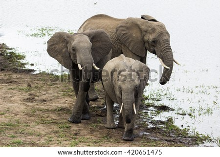 Three african wild elephants leave a watering hole together after drinking water at Kruger National Park in South Africa. - stock photo