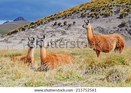 three alpacas - stock photo