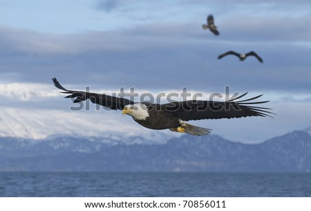 Three American Bald Eagles in flight with wings spread wide with blue sky background - stock photo