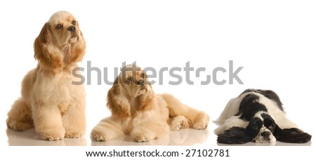 three american cocker spaniels on white background - champion bloodlines - stock photo