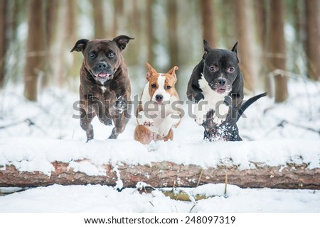 Three american staffordshire terrier dogs jumping over a tree - stock photo