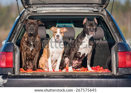 Three american staffordshire terrier dogs sitting in a car - stock photo