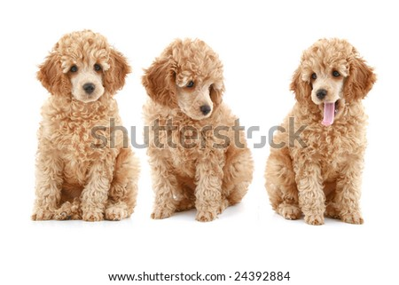 three apricot poodle puppy on white background - stock photo