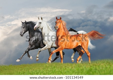 three arab horse runs free - stock photo