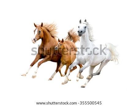 three arabian horses isolated on white - stock photo