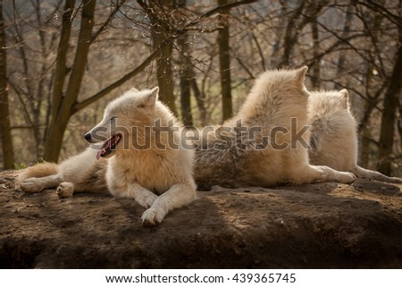 three arctic wolves are resting, lying on the ground and watching, one looking forward and two looking back - stock photo