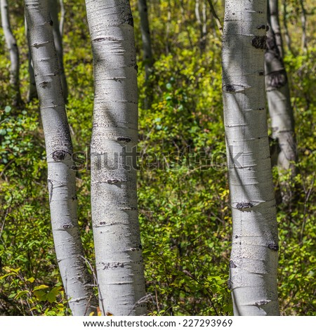 Three Aspen tree trunks against background of yellow and green leaves in a square frame  - stock photo