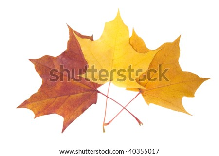 Three autumn leaves, isolated on white