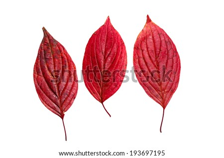 Three autumn red leaves isolated on white background - stock photo