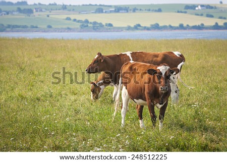 Three Ayrshire cows grazing in field at Prince Edward Island, Canada - stock photo