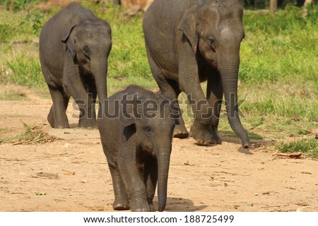 Three baby elephants at the Udawalawe Elephant Transit Home and Information Centre Department of Wildlife Conservation Sri Lanka. - stock photo