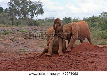 Three baby elephants play each other on red clay heap with trees and bushes in background. Sheldrick Elephant Orphanage in Nairobi, Kenya. - stock photo