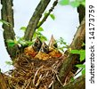 Three baby robins in their nest looking up waiting for their mother. - stock photo