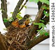 Three baby robins in their nest waiting for their mother. - stock photo