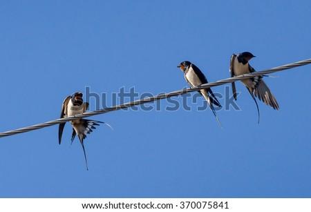 Three barn swallow on a sky background - stock photo