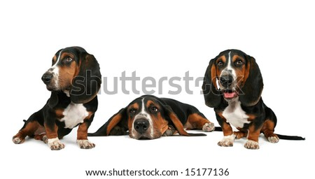 three basset hound puppies in a white background