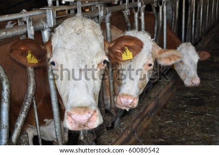 Three bavarian brown-white cows inside a rather dark barn or shed - stock photo