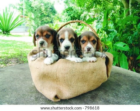 Three beagle puppies in a basket
