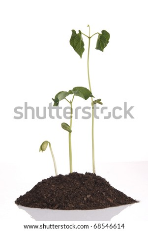 Three bean stems all different sizes - stock photo