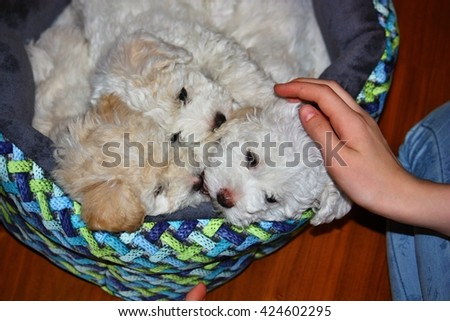 Three beautiful bolognese puppies, 7 weeks old - stock photo
