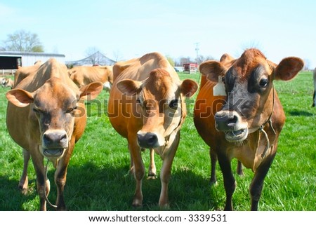Three beautiful bovines chatting in green grass - stock photo