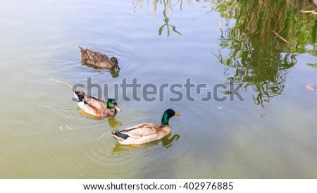 Three beautiful ducks floating on the water - stock photo