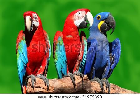 Three beautiful macaws - stock photo