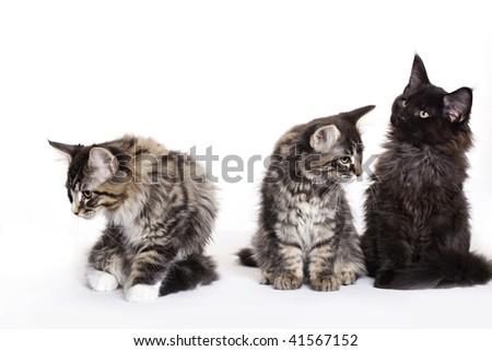 Three beautiful Maine Coon kittens - stock photo