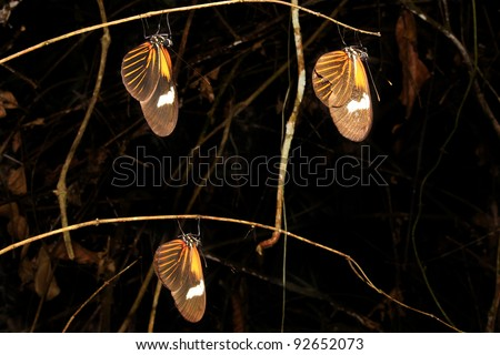 Three beautiful ORANGE butterflies sleep in the Peruvian Amazon Isolated on black with plenty of space for text