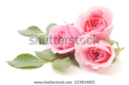 Three beautiful pink roses on a white background - stock photo