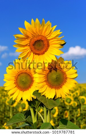 Three beautiful sunflowers in a bouquet in the background of a clear sky. Nature, yellow flowers