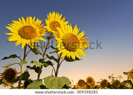 Three beautiful sunflowers in the field against evening sky