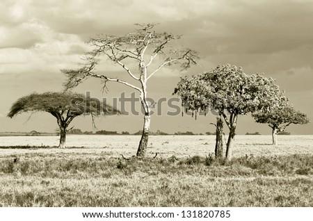 Three beautiful trees in Serengeti National Park - Tanzania (stylized retro) - stock photo