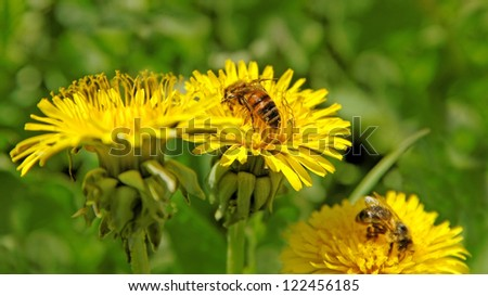 Three bees is working on the dandelions. - stock photo