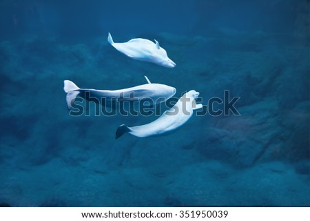 Three beluga whales diving in deep dark water