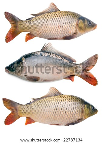 three big fat carps collection isolated on white background - stock photo